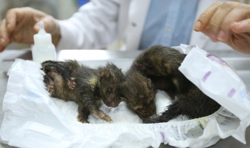 Enkazdan Çıkarılan 3 Yavru Sansar'a Gaziantep Hayvanat Bahçesi Sahip Çıktı